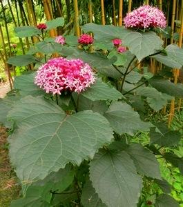 Exoten Bambus Gärtnerei Kimmei Valkenswaard