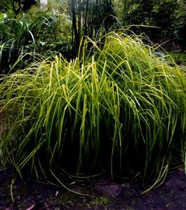 Gräser Immergrün bamboe hagen bamboekwekerij kimmei valkenswaard
