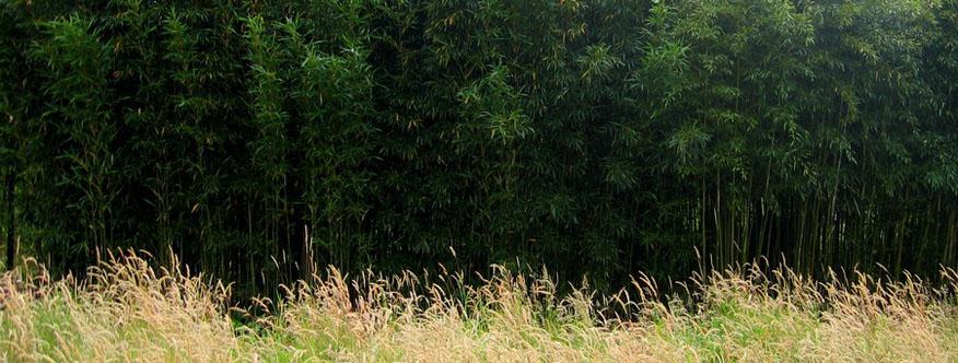 recht bambus wächst zum nachbarn rüber