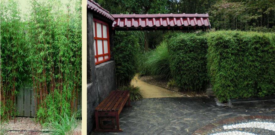 Rode bamboe haag