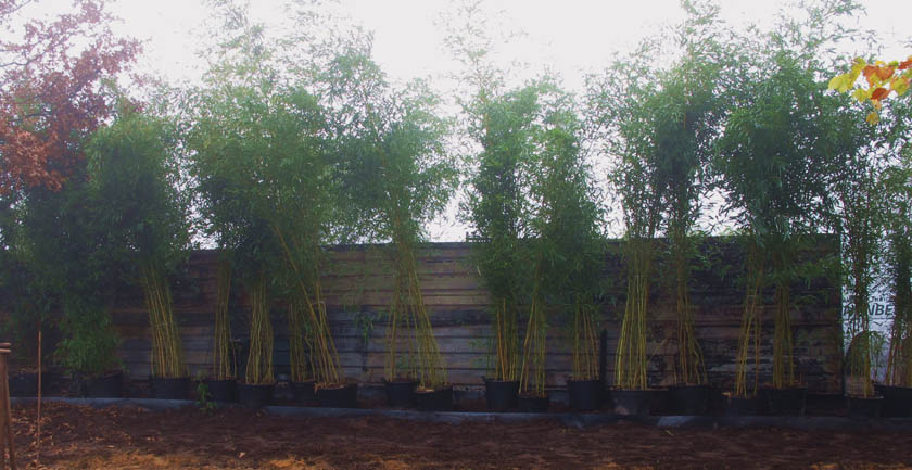 pflanztipps bambus. Black Bedroom Furniture Sets. Home Design Ideas