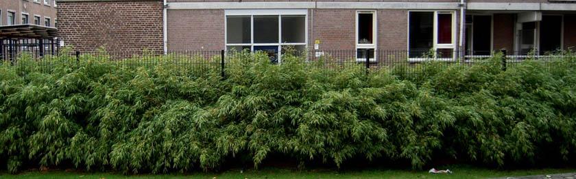 Pflanztipps Bambus