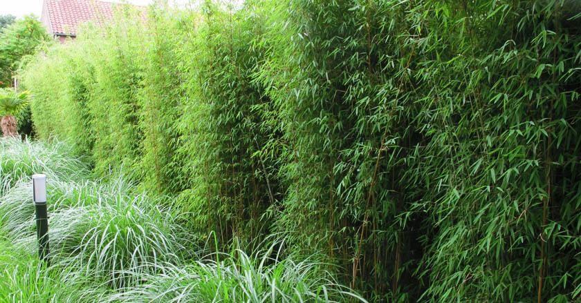 stappenplan voor het aanleggen van een bamboehaag. Black Bedroom Furniture Sets. Home Design Ideas